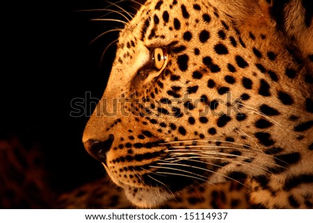 Leopard in the Sabi Sands Reserve - stock photo