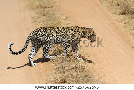 Leopard in the wild. National park of Kenya - stock photo