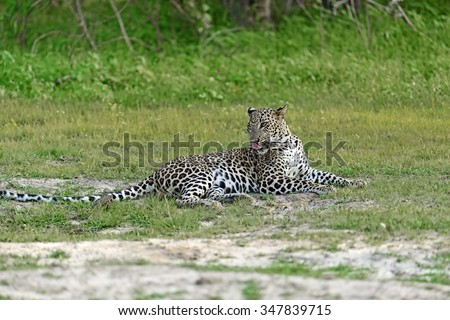 Leopard in the wild on the island of Sri Lanka - stock photo