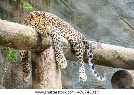 Leopard in the zoo of Thailand