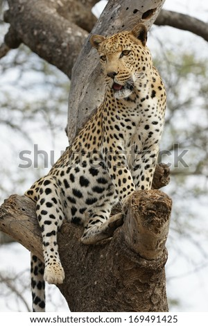 Leopard in tree - stock photo