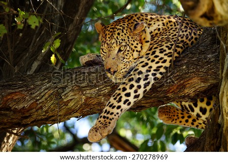 Leopard in tree, Moremi game reserve, Botswana - stock photo