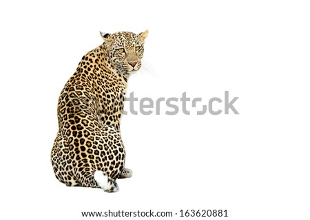 Leopard Isolated on White Background - stock photo