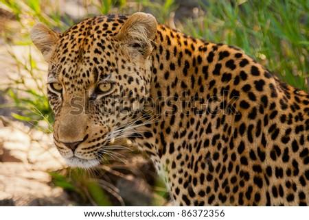 Leopard - Kruger National Park - stock photo