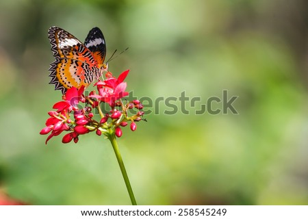 Leopard Lace Butterfly (Cethosia cyane) is sucking nectar from red flower - stock photo