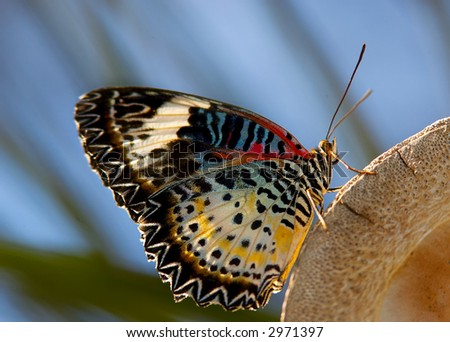 Leopard Lacewing Butterfly - stock photo