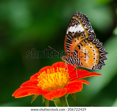 Leopard Lacewing butterfly collecting nectar from mexican sunflower, macro. - stock photo