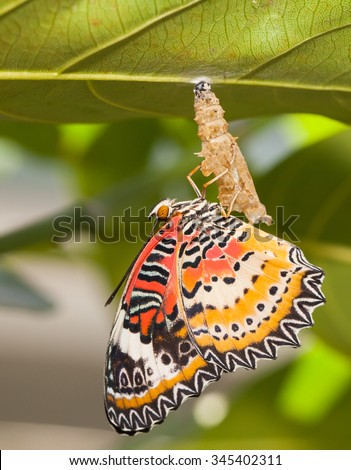 Leopard lacewing butterfly come out from pupa