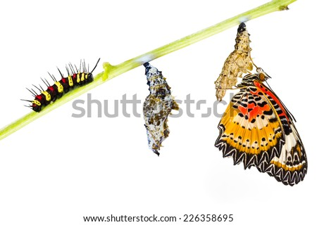 Leopard lacewing (Cethosia cyane euanthes)  butterfly , caterpillar, pupa and emerging  - stock photo