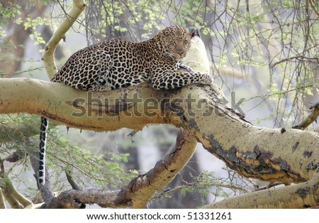 Leopard, Lake Nakuru, Great Rift Valley, Kenya