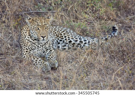 Leopard lay down in at dusk to rest and relax - stock photo