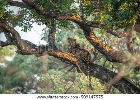 Leopard laying in a tree in the Kruger National Park, South Africa.
