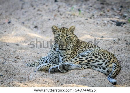 Leopard laying in the sand in the Kruger National Park, South Africa.