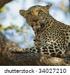 Leopard laying in tree with watchful eyes - stock photo