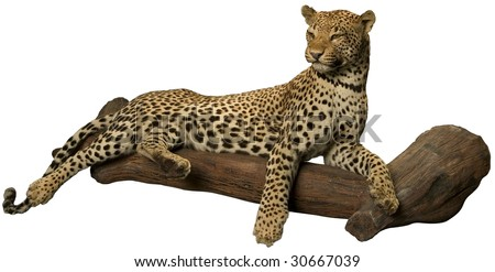 Leopard laying on tree isolated on white