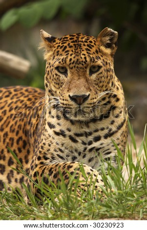Leopard looking at you - stock photo