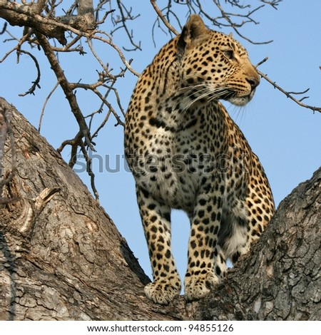 Leopard looking for prey