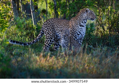 Leopard Lorian with cub stalked up close to a steenbok in Masai Mara, Kenya - stock photo