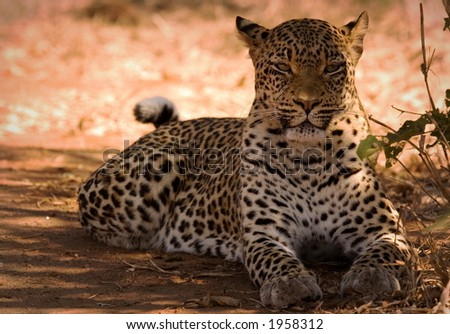 Leopard lying down - stock photo