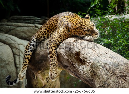 Leopard lying in a tree, Singapore - stock photo