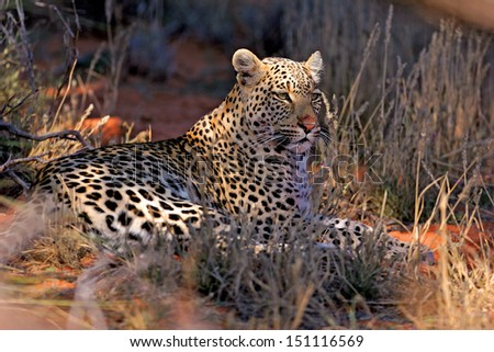 Leopard lying in shade - stock photo