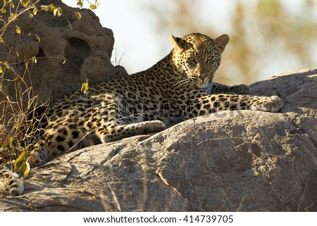 Leopard lying on rocks in the sun - stock photo