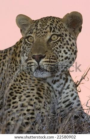 Leopard male - stock photo
