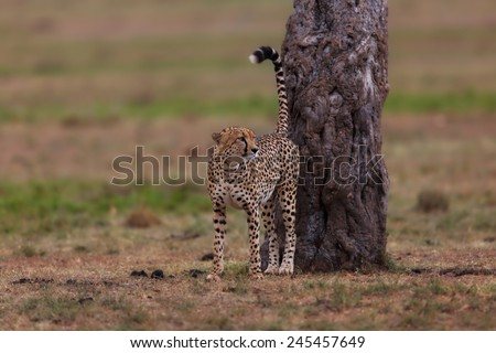 Leopard male marking his area in Masai Mara, Kenya - stock photo