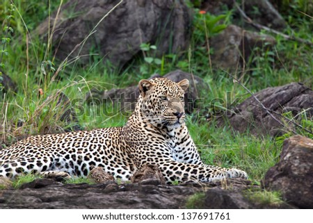 Leopard male relaxing on the rocks in Masai Mara, Kenya - stock photo
