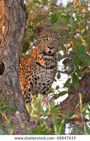 Leopard, Moremi National Park, Botswana - stock photo