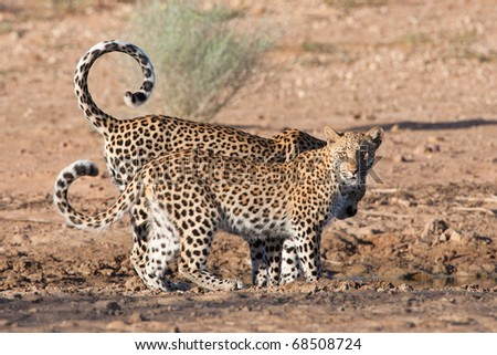 Leopard mother and cub at waterhole - stock photo