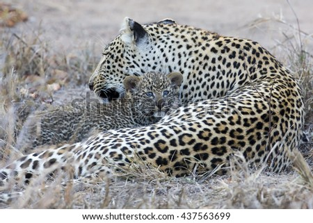 Leopard mother cares for her cub in the gathering darkness - stock photo