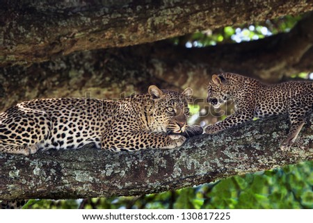 Leopard mother with cub on a tree, Serengeti, Tanzania - stock photo