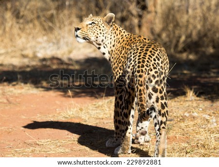 Leopard, Namibia