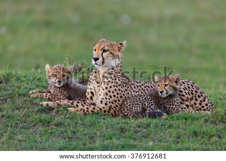 Leopard Nora with her two cubs in Masai Mara, Kenya - stock photo