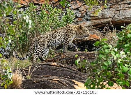 Leopard on a rock in the Tsavo National Park in Kenya - stock photo