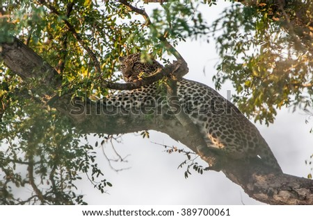 Leopard on a tree in the Etosha National Park, Namibia, Africa - stock photo