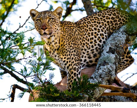 Leopard on a tree. National Park. Kenya. Tanzania. Maasai Mara. Serengeti. An excellent illustration. - stock photo