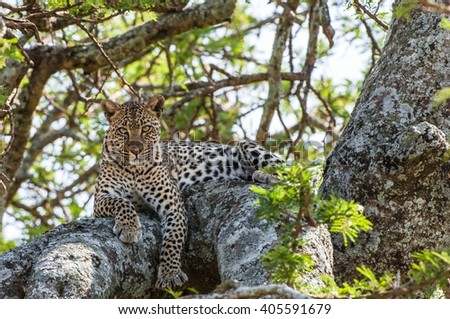 "Leopard on a tree. The leopard hides from solar hot beams on a tree. The leopard (Panthera pardus) is one of the five ""big cats"" in the genus Panthera. - stock photo"