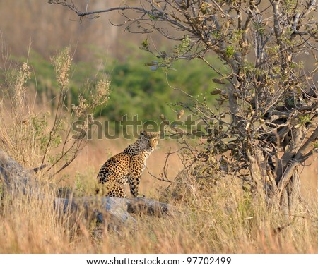 Leopard on alert in bush in Moremi game reserve in Botswana, Africa - stock photo