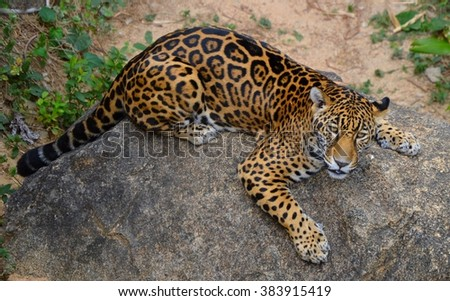 Leopard on Rock - stock photo