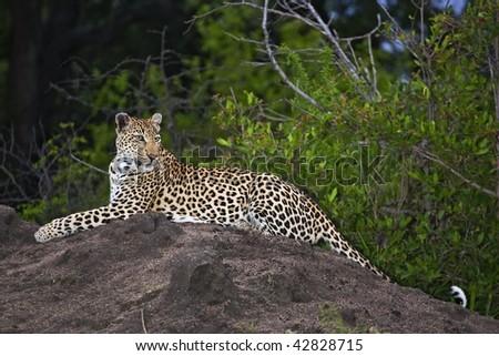 Leopard on termite mound - stock photo