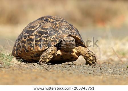 Leopard or mountain tortoise (Stigmochelys pardalis) walking, South Africa  - stock photo