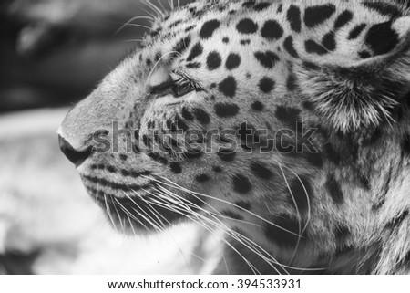 leopard or Panthera pardus closeup black and white portrait - stock photo
