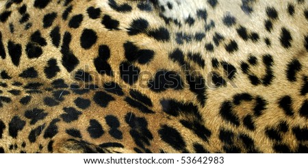 Leopard or Panthera Pardus of the Felidae family - useful as a background