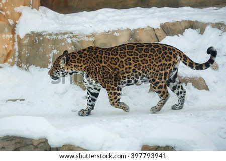 Leopard or Panthera pardus walking on snow - stock photo