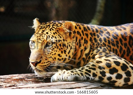 leopard panther looking on tree   - stock photo