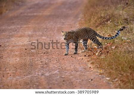 Leopard (Panthera pardus) crossing the road, Tadoba, Chandrapur, Maharashtra, India - stock photo