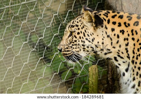 Leopard - Panthera pardus imprisoned in a cage at the ZOO. Sad look through the ZOO fence. Caged animals in the amusement parks. - stock photo
