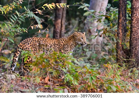Leopard (Panthera pardus) is alert, Tadoba, Chandrapur, Maharashtra, India - stock photo